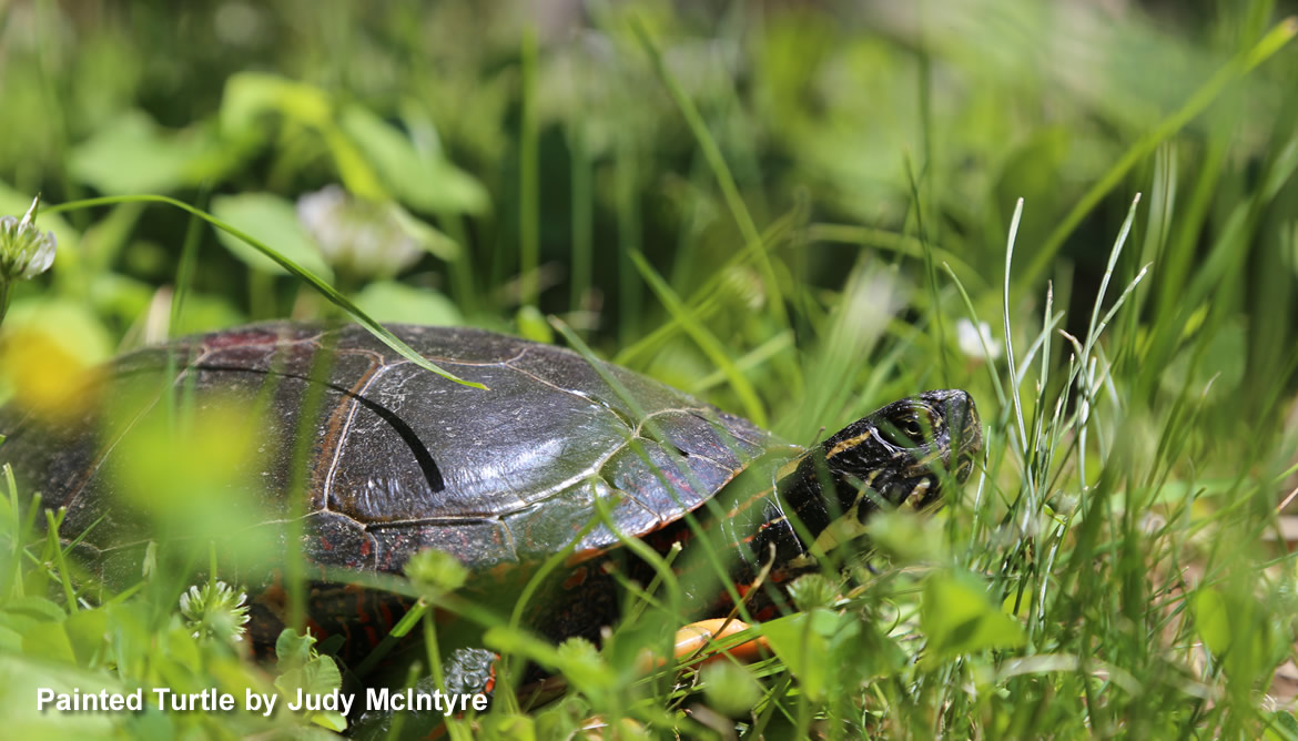 Painted Turtle 1170x668