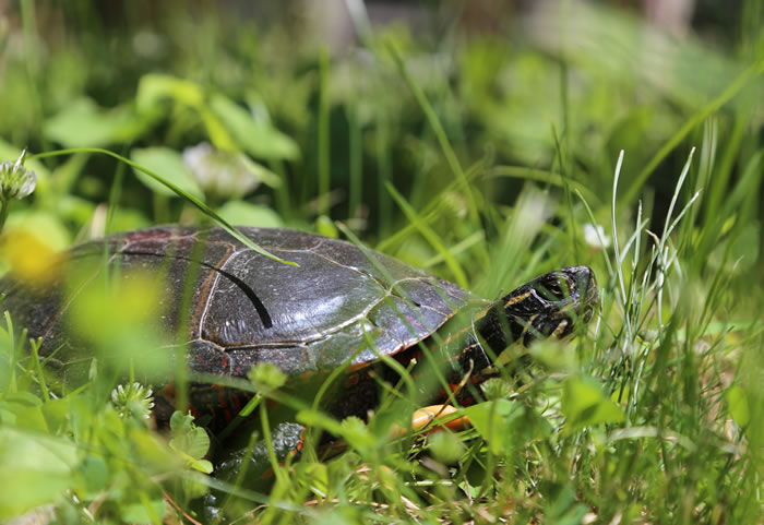 Painted Turtle by Judy McIntyre