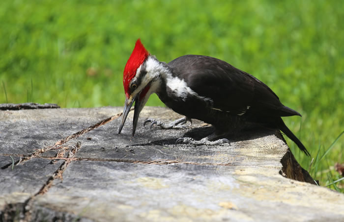 Pileated Woodpecker by Judy McIntyre