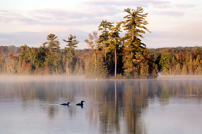 Two Loons by Judy McIntyre